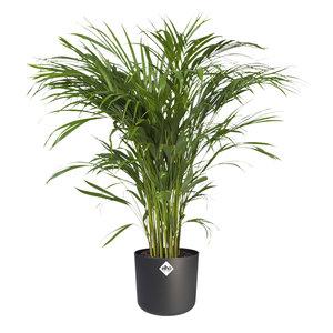 Areca Dypsis in ® ELHO b.for soft sierpot (Areca Dypsis)