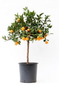 Citrus Calamondin (CAL P22)