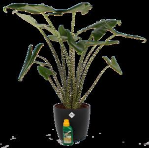 Alocasia Zebrina met Elho sierpot en Pokon (Alocasia Zebrina)