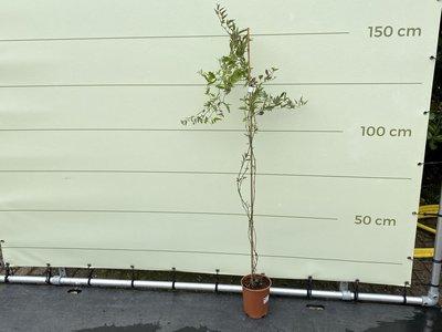 Nachtschade - Solanum Jasminoides 150 cm met witte bloesem