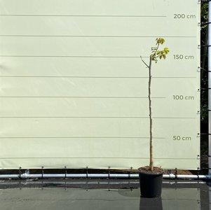 Juglans Regia - Walnootboom ca. 110cm