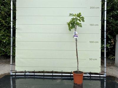 Vijgenboom - Ficus Carica 175cm, zoete groene vijg