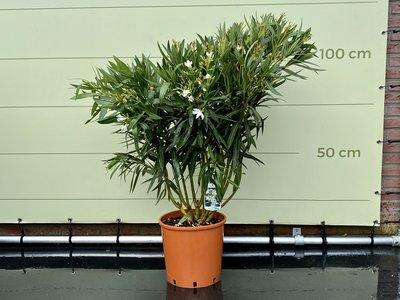 Witte Oleander - Nerium Oleander - 120 cm