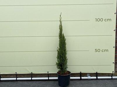 Italiaanse cipres totem 110cm