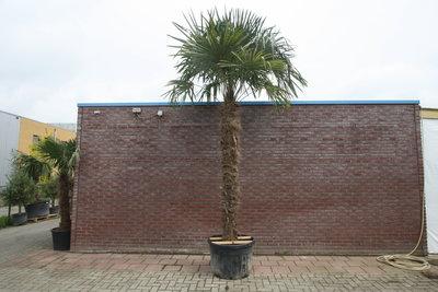 trachycarpus fortunei stamhoogte 230cm