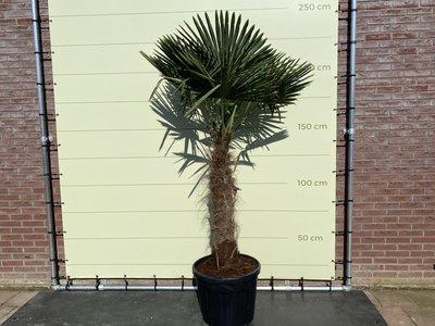 trachycarpus fortunei 100 - 120cm stamhoogte