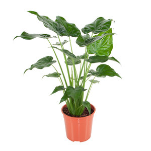 Alocasia Cucullata (Alocasia Cucullata)