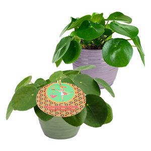Duo Pilea Peperomioides (PILPEP12P)