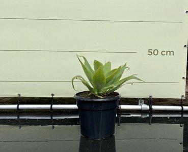 Agave Attenuata 50 cm