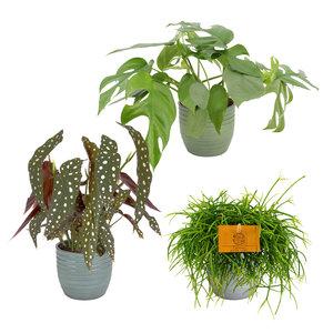 Trio Begonia maculata, Monstera Minima en Rhipsalis cashero (Trio Begonia maculata, Monstera Minima en Rhipsalis cashero)