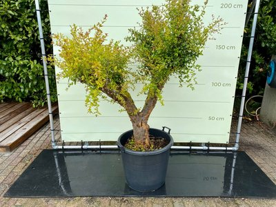 Granaatappelboom maat XXL, stamomvang 40-50 cm