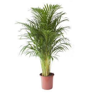 Goudpalm (Areca / Dypsis Palm)