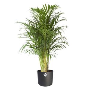 Goudpalm in ® ELHO b.for soft sierpot (Areca Dypsis)