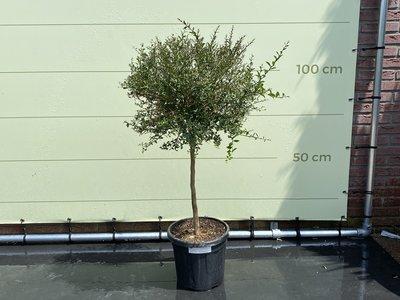 Citroenkaviaar op stam, stamomvang 8 - 10cm