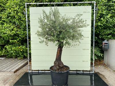 Olea Europea - Olijfboom, stamomvang 50 - 70  cm