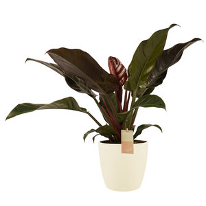 Decorum Philodendron Imperial Red - Elho brussels soap (2403527)