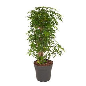 Schefflera Luseana bush (Schefflera Luseana bush)