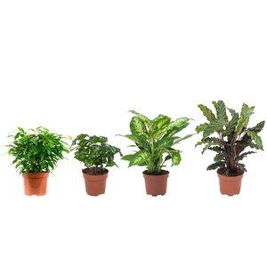 """Ficus, Koffieplant, Dieffenbachia compacta, Calathea (""Ficus Green Kinky, Coffea Arabica,Dieffenbachia Compacta , Calathea Rufibarba)"