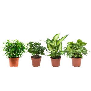 Dieffenbachia Camilla, Coffea Arabica, Syngonium Podophyllum, Ficus benjamina (Dieffenbachia Camilla, Coffea Arabica, Syngonium Podophyllum, Ficus benjamina)