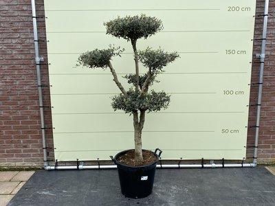 olijfboom pon-pon stamomvang 20 - 25cm
