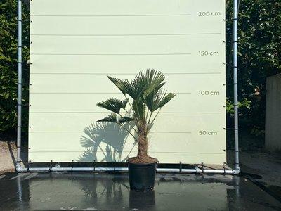 Trachycarpus Wagnerianus stamhoogte 30-35  cm