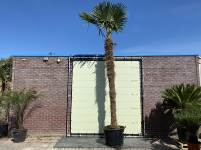 trachycarpus fortunei stamhoogte 400cm