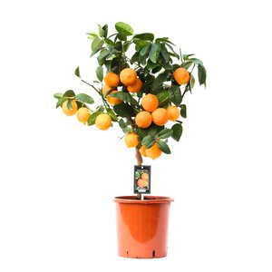 Citrus Red Lime op stam (Red Lime)