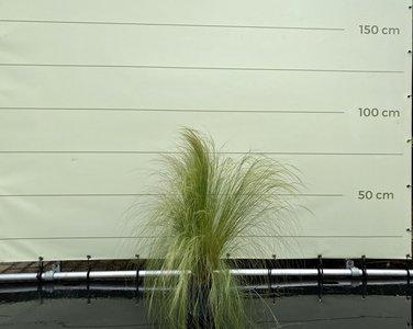 Vedergras - Stipa Tenuissima 80 cm