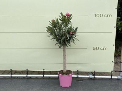 Roze Oleander op stam 80-100cm