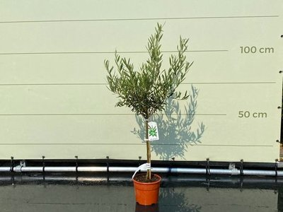 Olea Europea - Olijfboom met gladde stam, stamomvang 4 - 6 cm