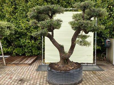 Olea Europea - Olijfboom pon-pon, stamomvang 100 - 110 cm