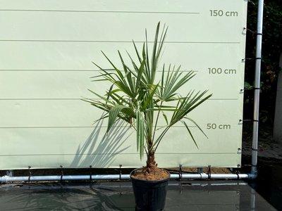 Trachycarpus Fortunei 15-20 cm stamhoogte