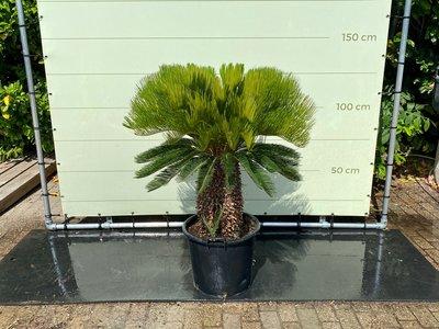 Cycas revoluta stamhoogte 40-50 cm