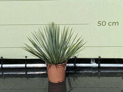 yucca rostrata 40/50cm