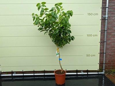 Citroenboom maat L 140 cm