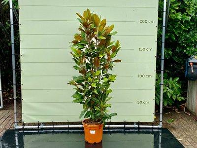 Magnolia Grandiflora Gallisoniensis 200 CM