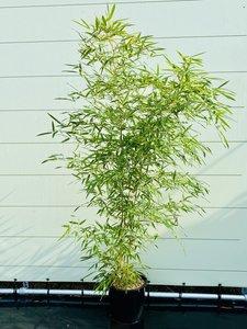 Bamboe Aureocallis