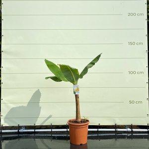 Musa Cavendish - 125cm