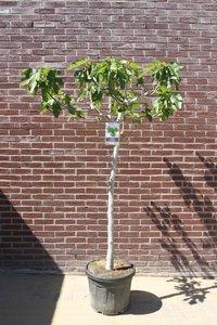 vijgenboom stamomvang 12/14cm, 210cm, groene vijg