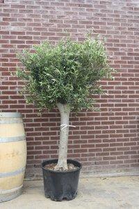 olijfboom stamomvang 30 - 40cm