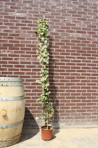toscaanse jasmijn 160cm