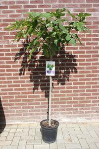 Vijgenboom stamomvang 6/8cm, zoete groene vijg