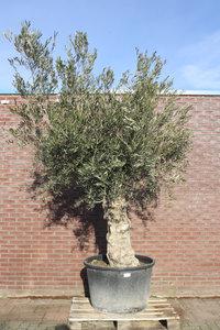 olijfboom stamomvang 60 -80cm