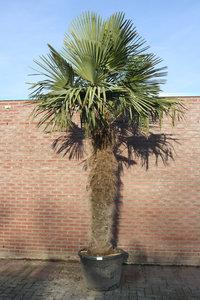 trachycarpus fortunei stamhoogte 190cm