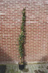 toscaanse jasmijn 240cm