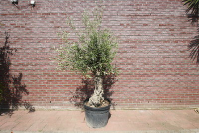 olijfboom stamomvang 40 -50cm