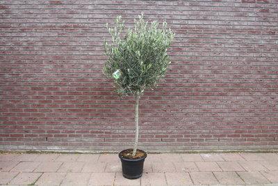 Olijfboom bol op stam 170 cm