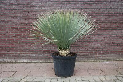 yucca rostrata stamhoogte 20-30cm